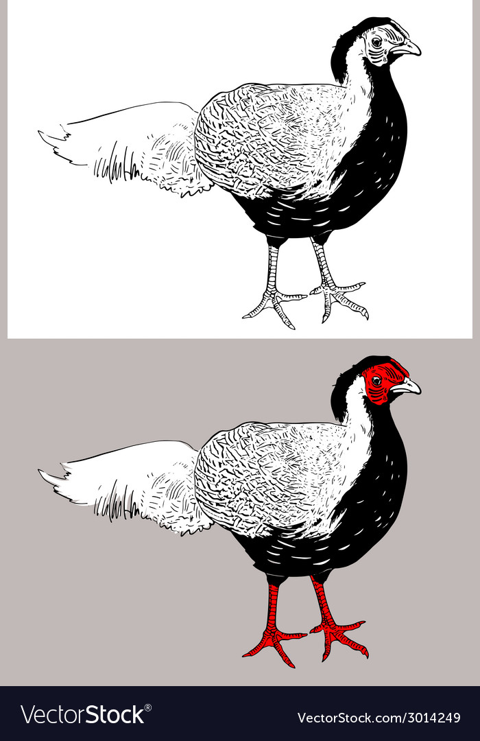 Digital drawing of male silver pheasant lophura vector