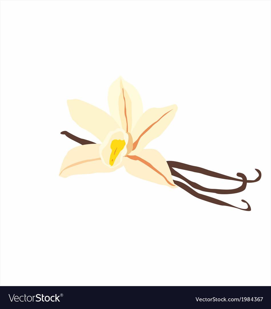Vanilla flower vector