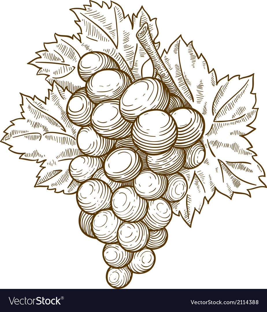 Engraving grapes on the branch vector