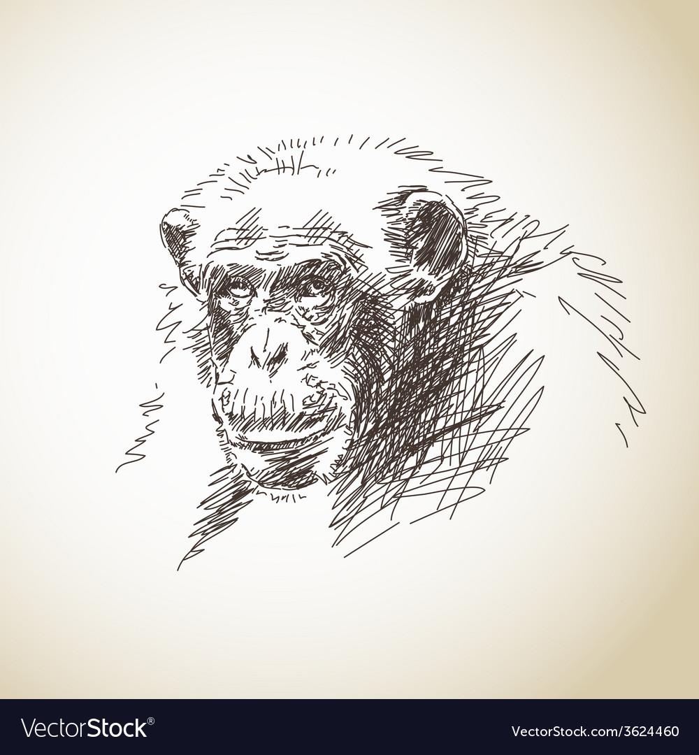 Sketch of chimpanzee head vector