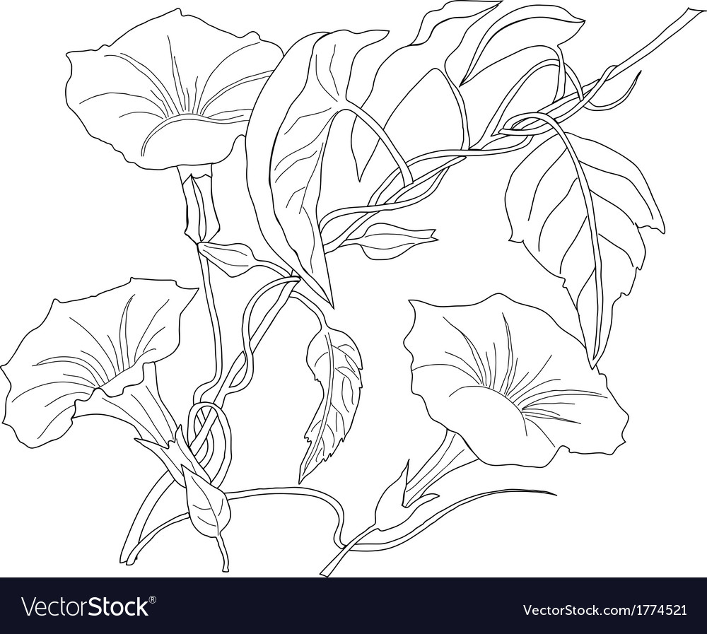 Bindweed sketch black and white vector