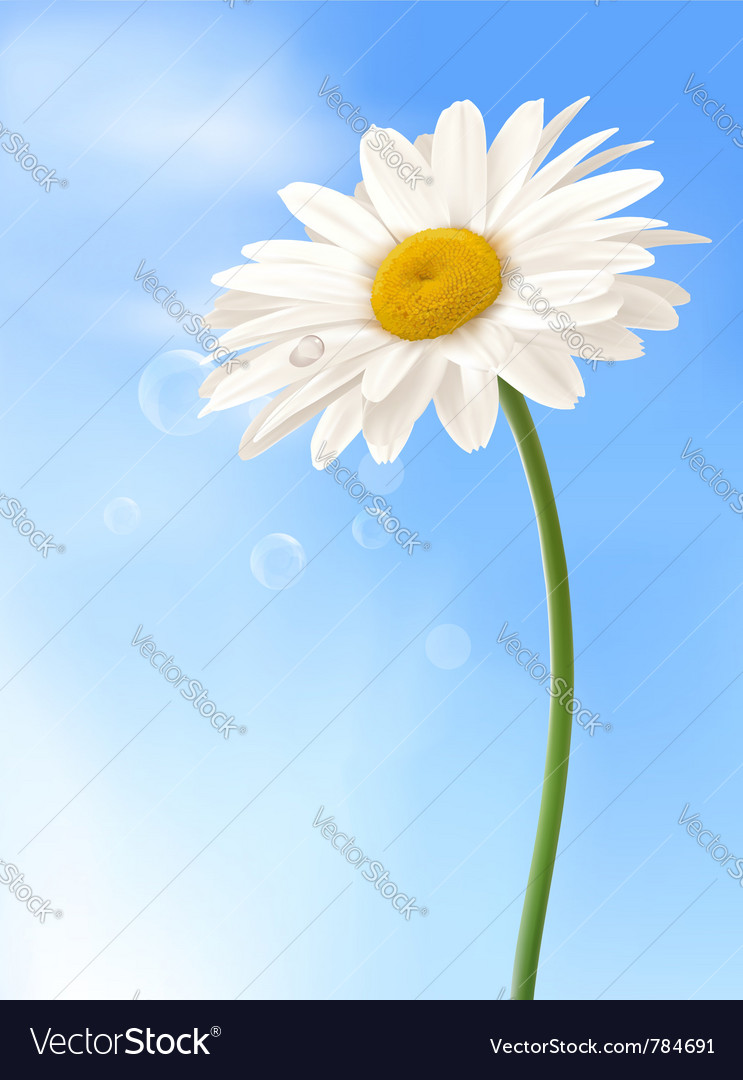 Beautiful white daisy vector