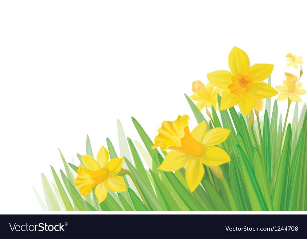 Daffodil flowers vector