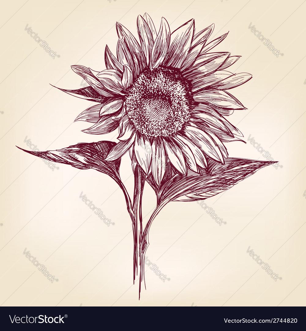 Sunflower hand drawn llustration realistic sketch vector