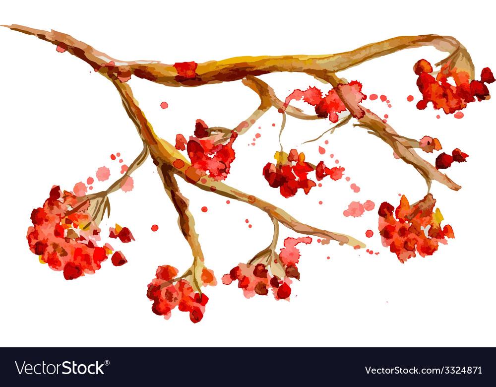 Watercolor painting - rowan berry branch vector