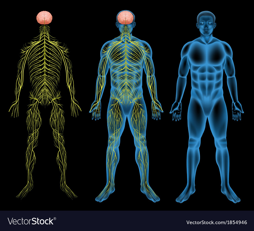 Male nervous system vector