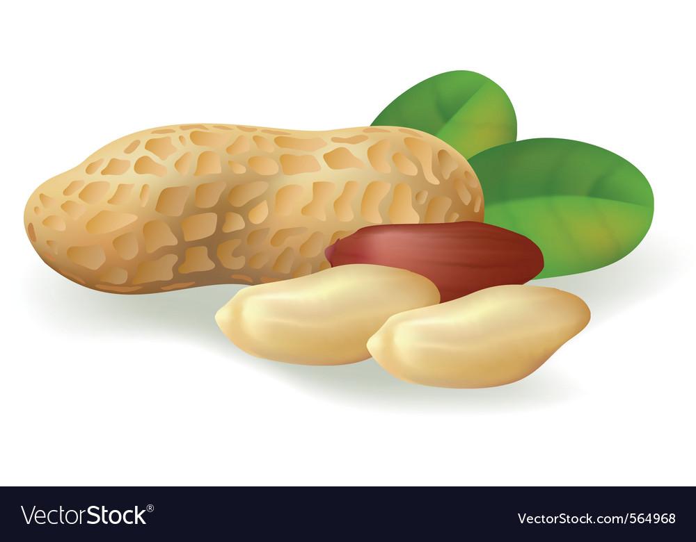 Peanut fruit vector