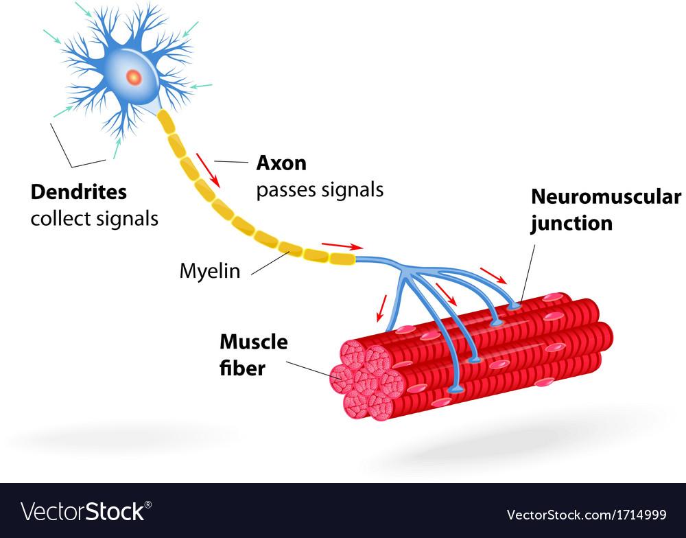 Motor neuron vector