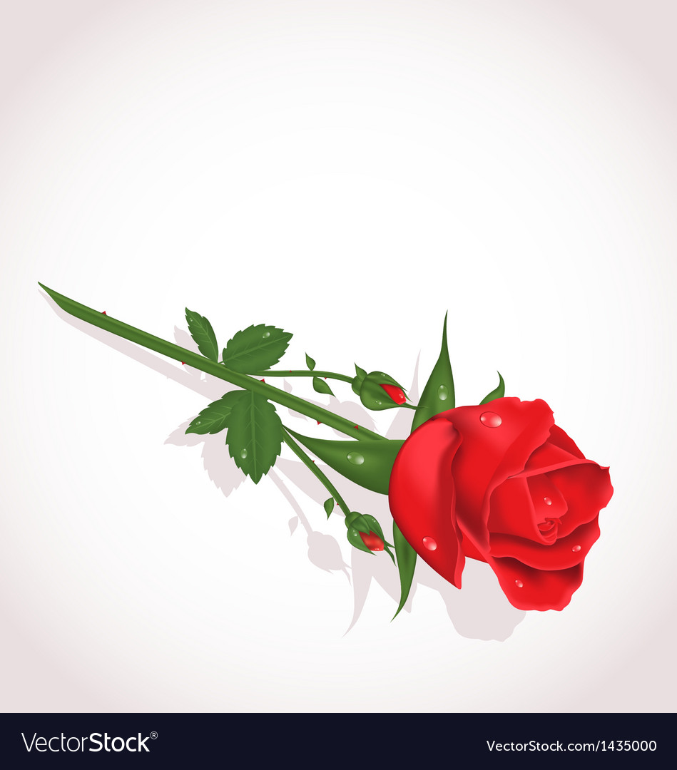 Elegant single rose for design your greeting card vector