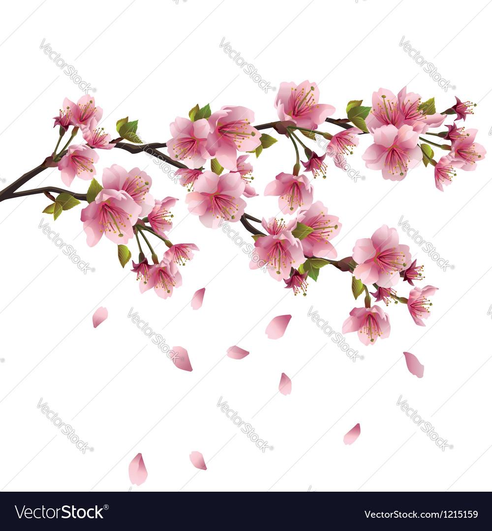 Sakura blossom japanese cherry tree isolated vector