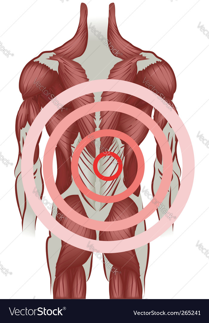 Human back muscles vector
