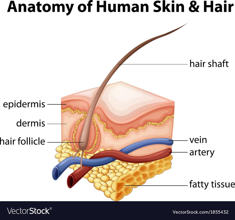 Anatomy of human skin and hair vector