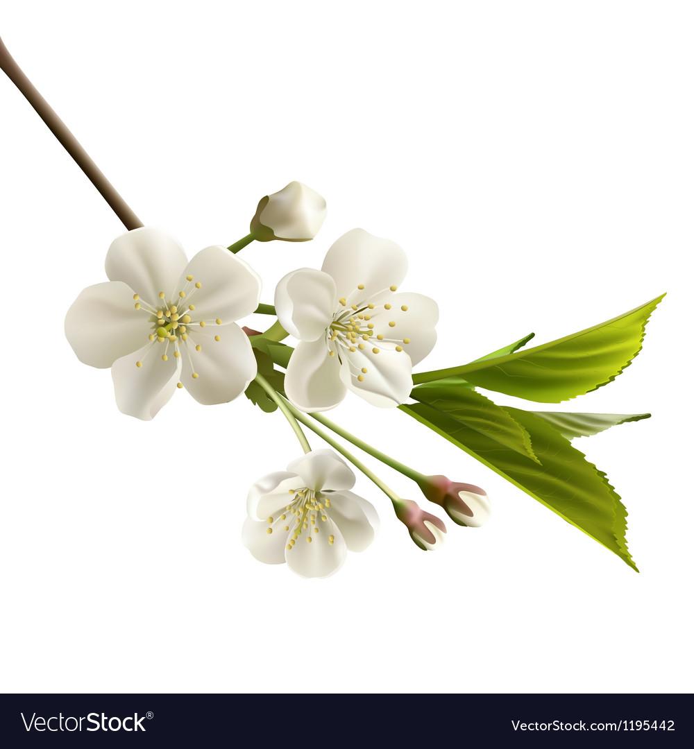 Cherry flowers vector