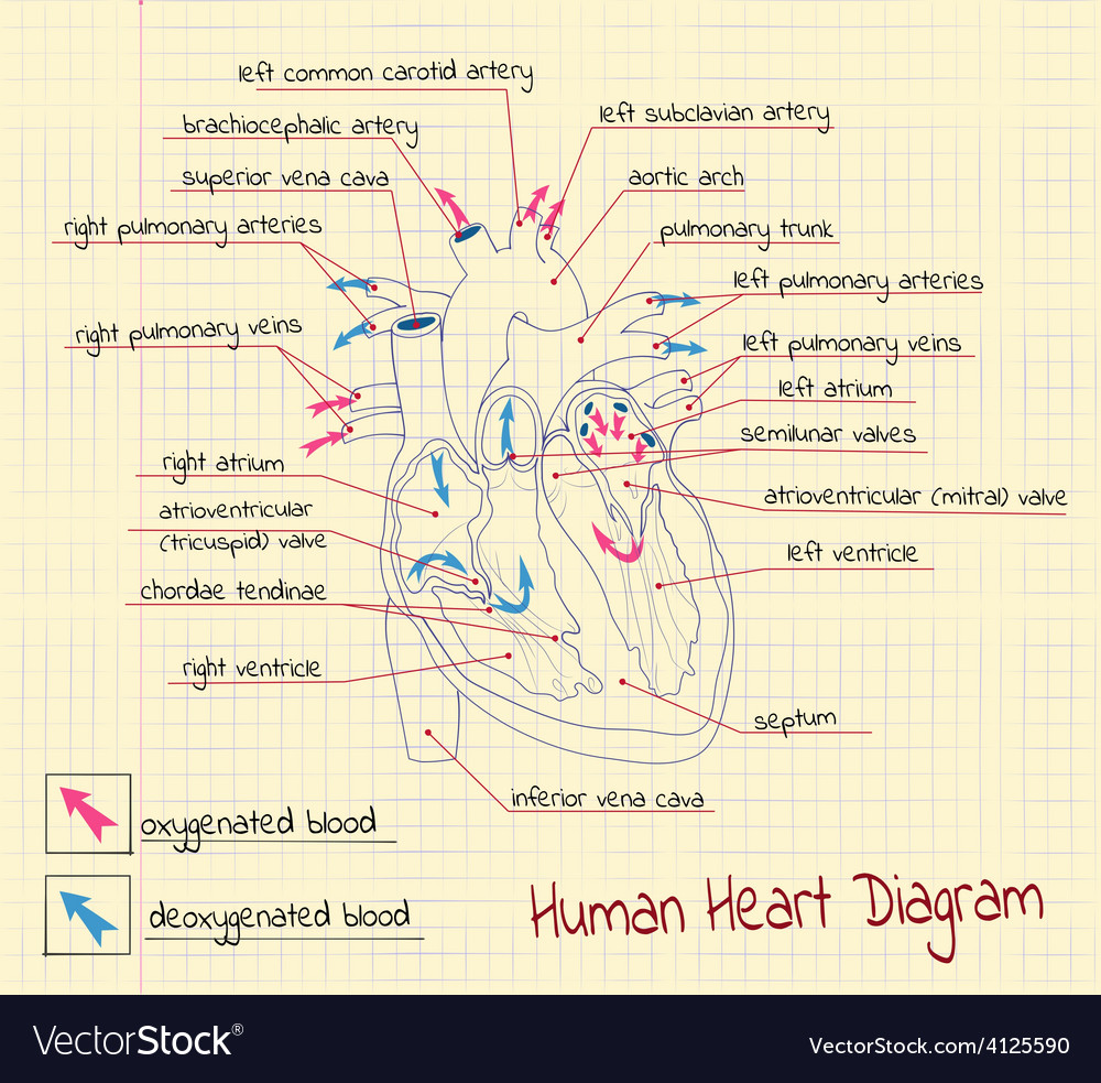 Structure of the heart vector