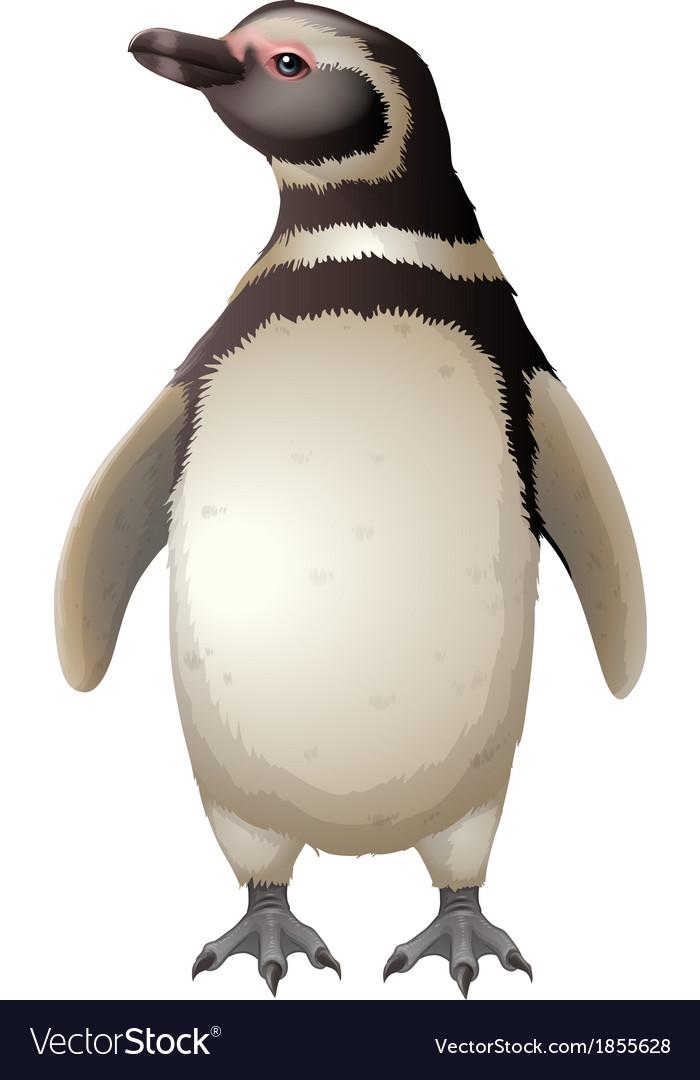 Magellanic penguin vector