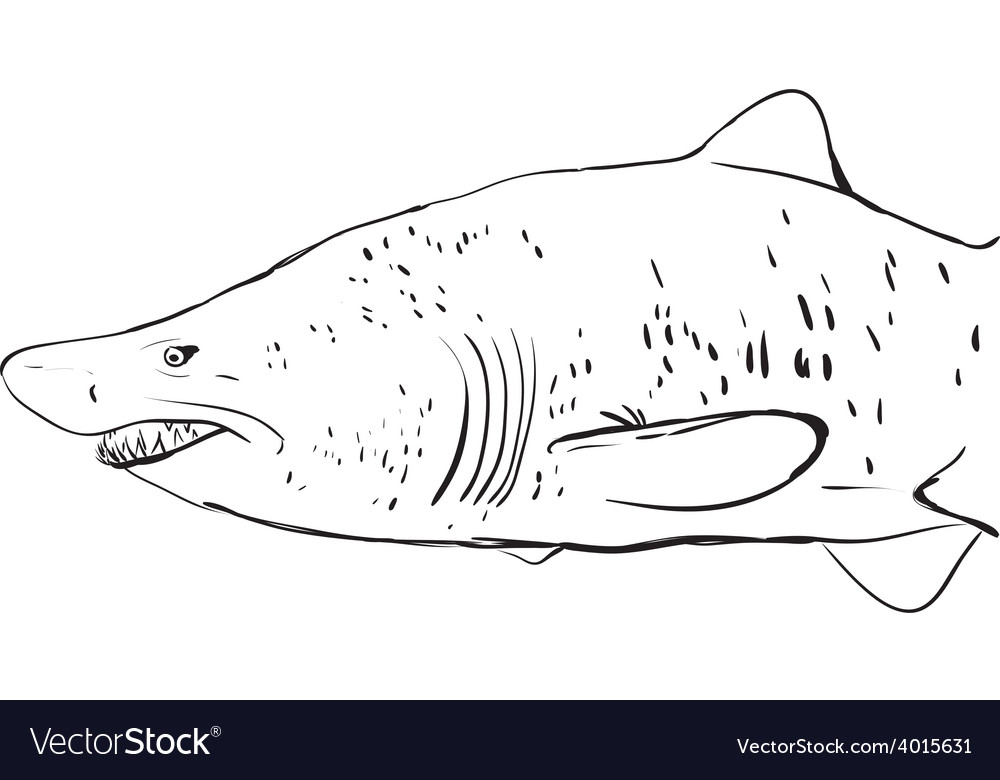 Great white shark underwater sketch black contour vector