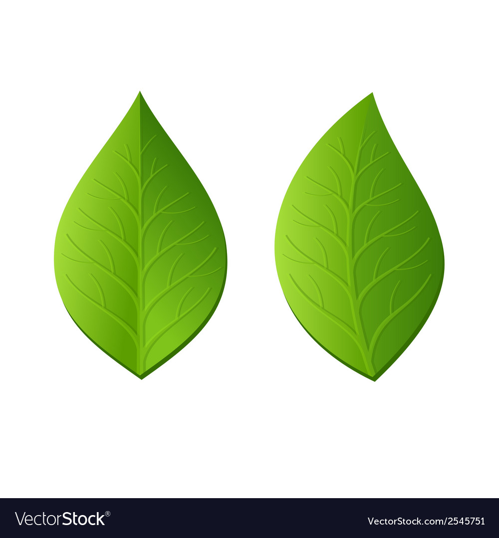 Two green leaves on white background vector
