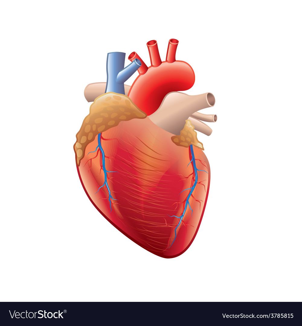 Human heart isolated vector