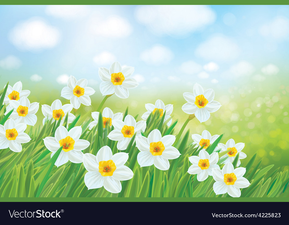 Spring daffodils vector