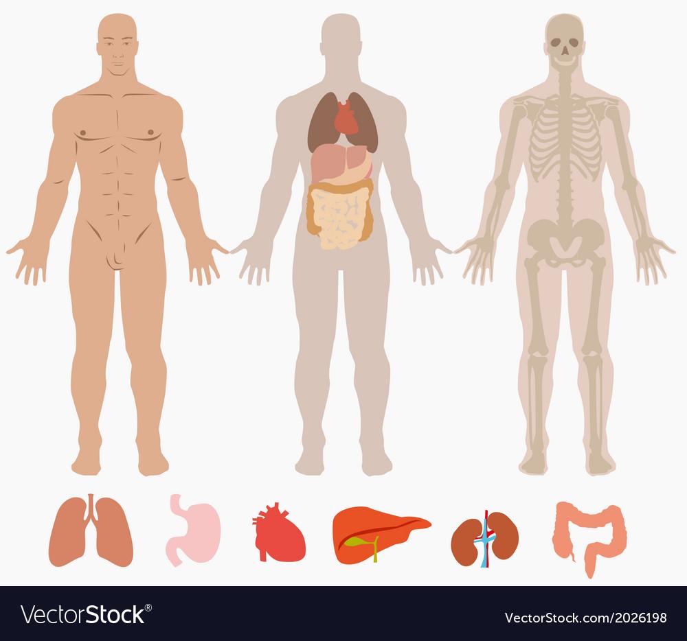 Human anatomy diagram vector