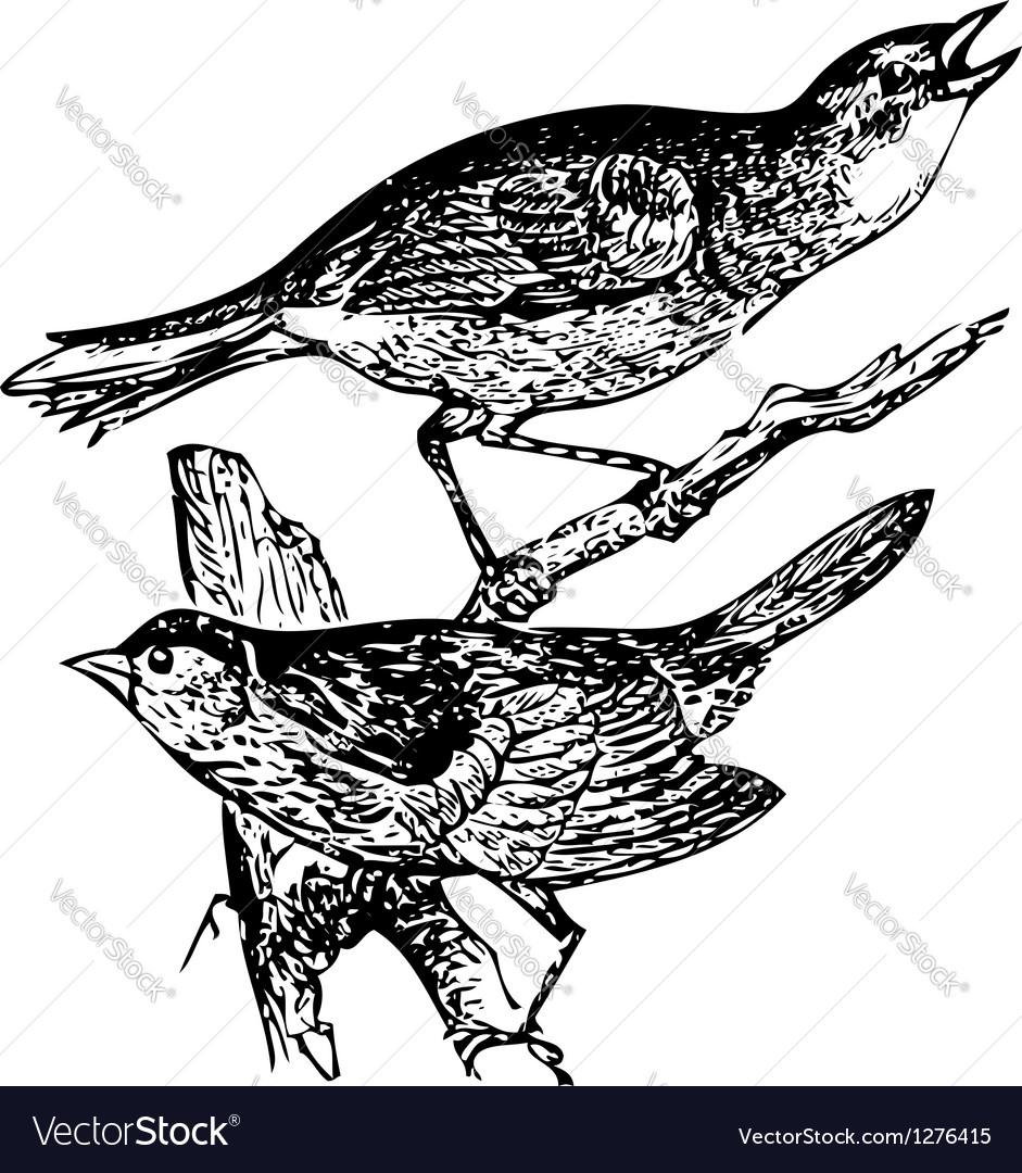 Seaside sparrow engraving vector