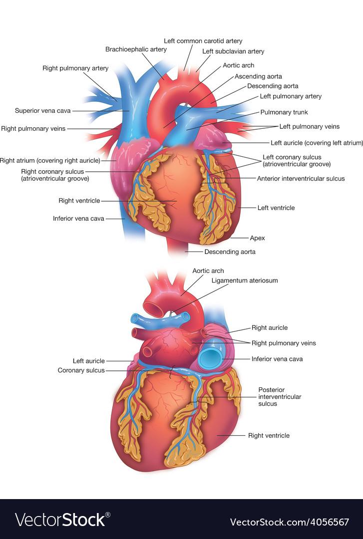 Heart diagram vector