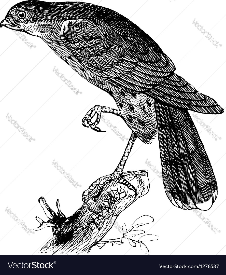 Sharp-shinned hawk engraving vector
