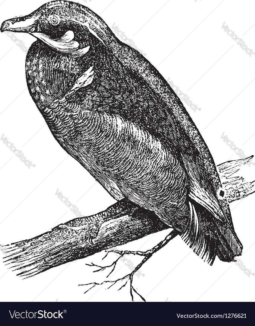 Carolina duck engraving vector