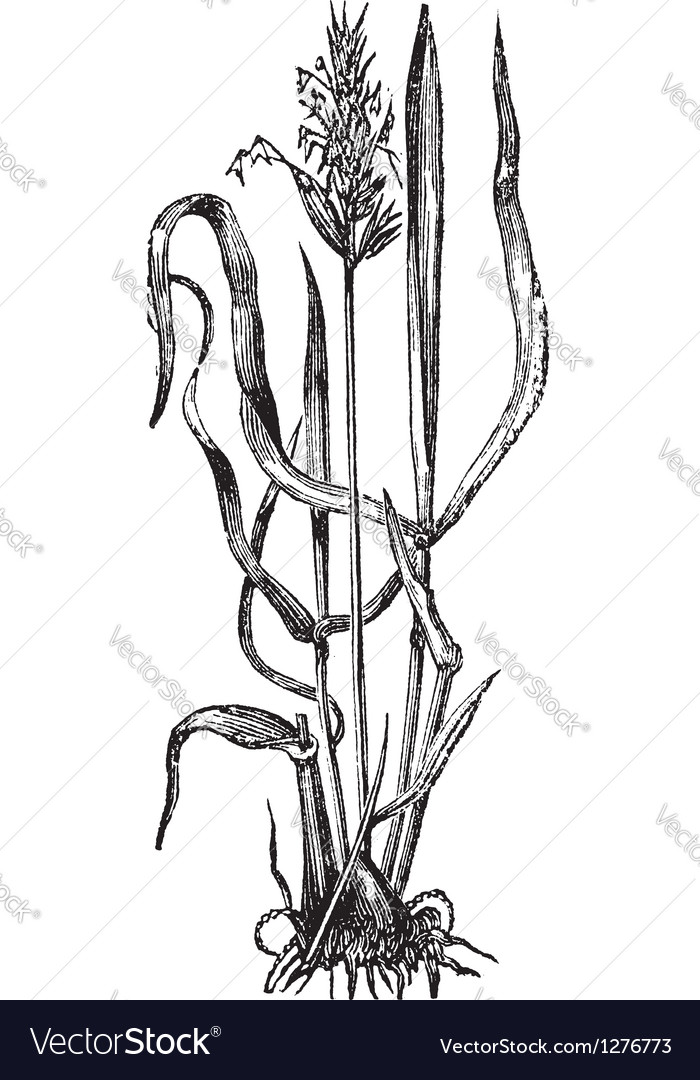 Sweet vernal grass engraving vector