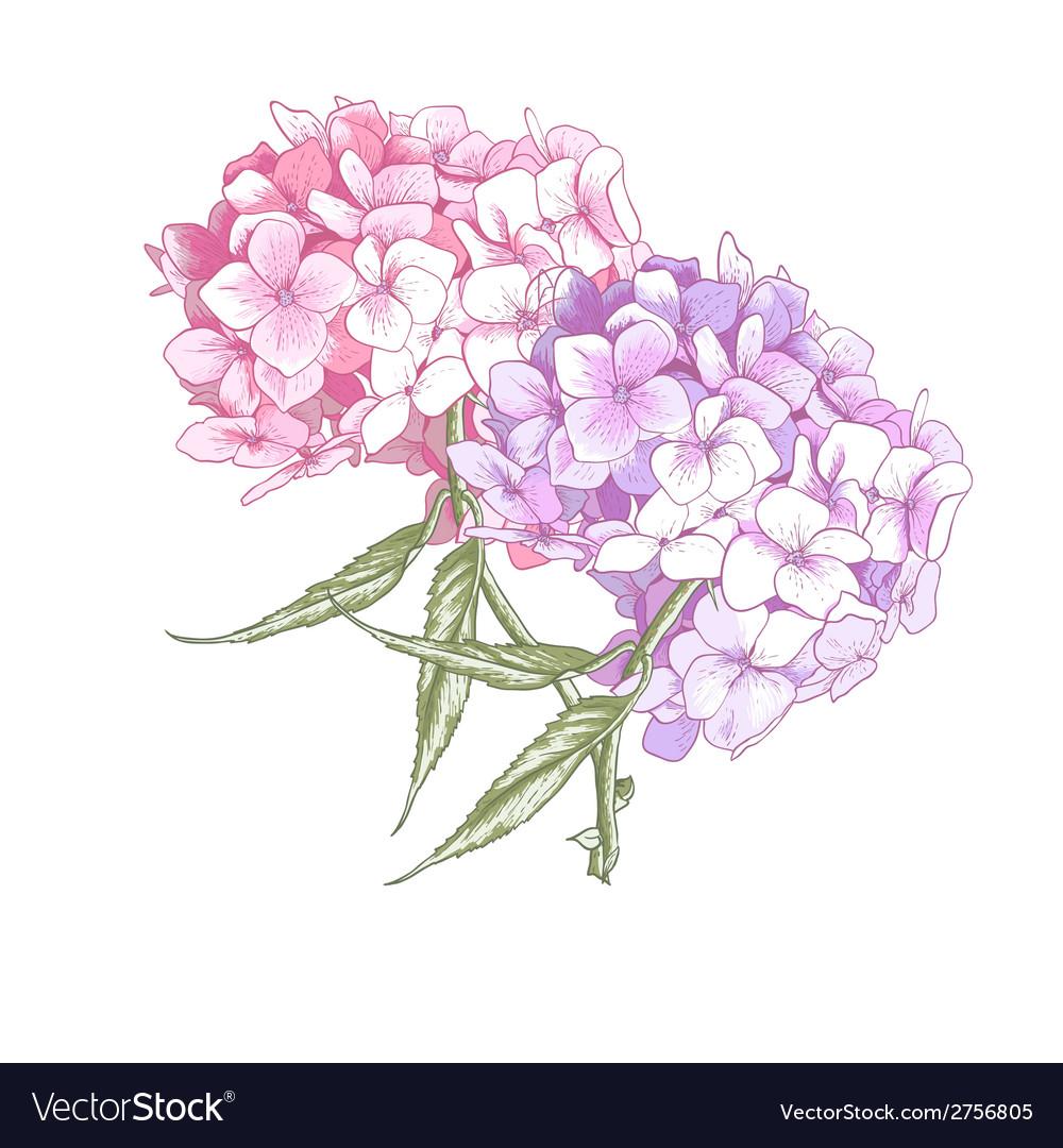 Hydrangea vintage botanical vector