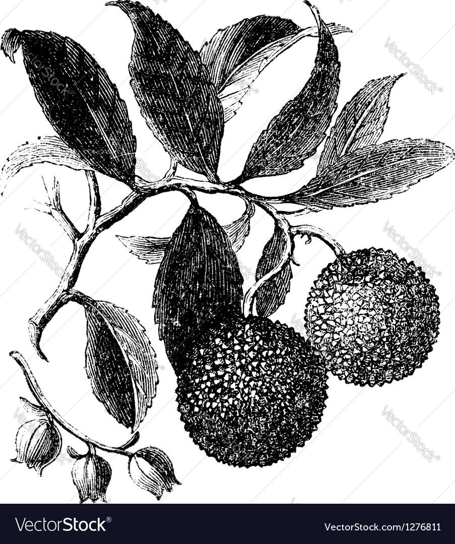 Strawberry tree vintage engraving vector