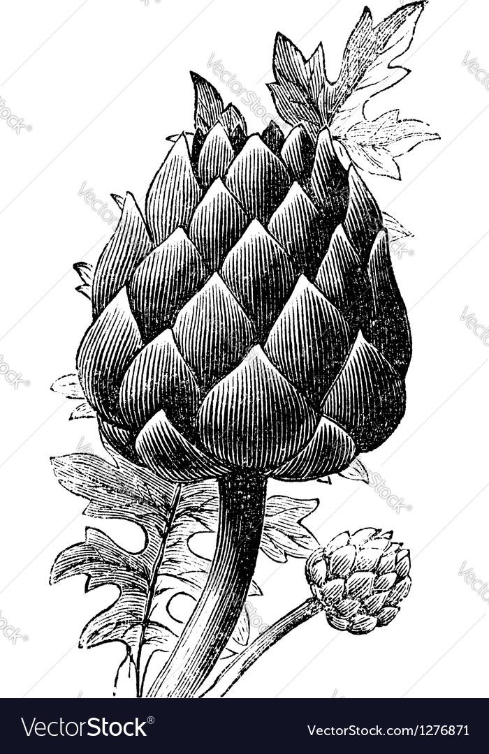 Artichoke globe artichoke engraving vector
