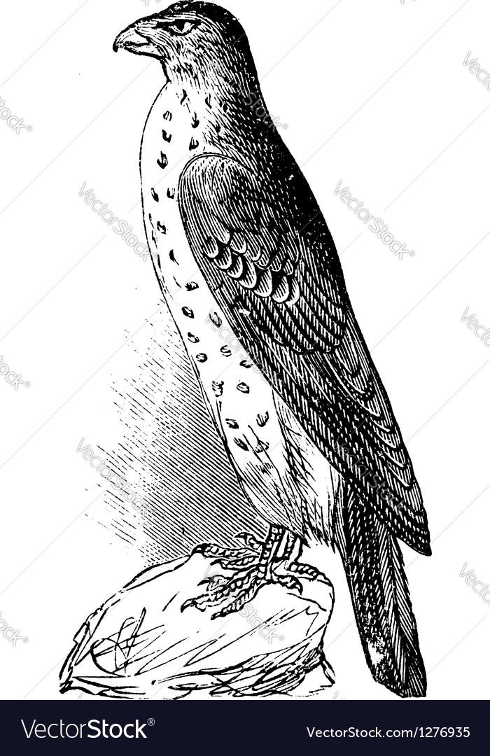 Coopers hawk vintage engraving vector