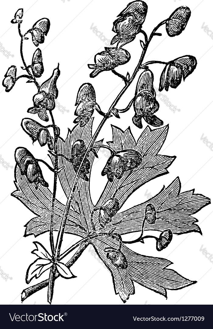 Flower of monkshood engraved vector