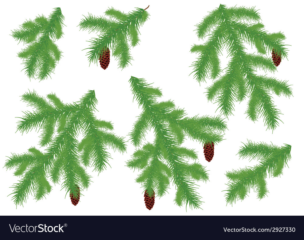 Spruce branches vector