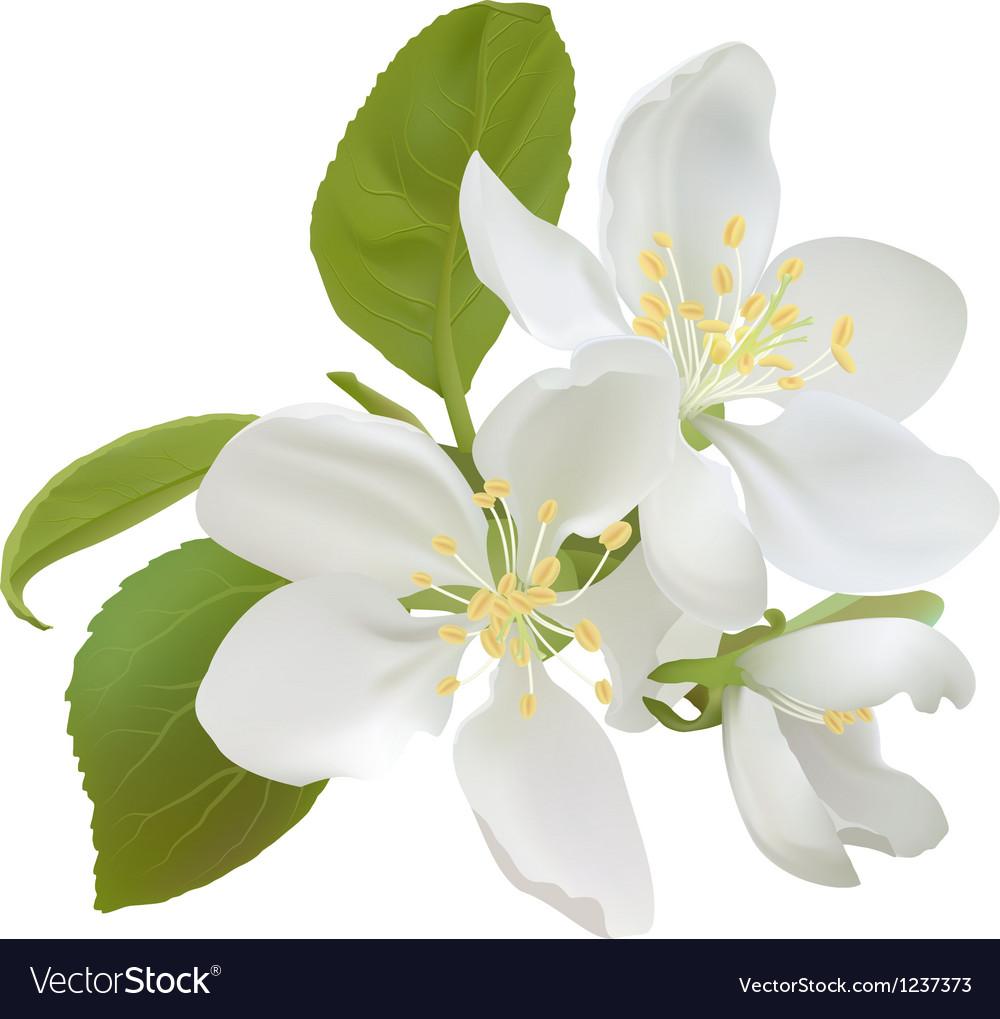 White apple flowers vector