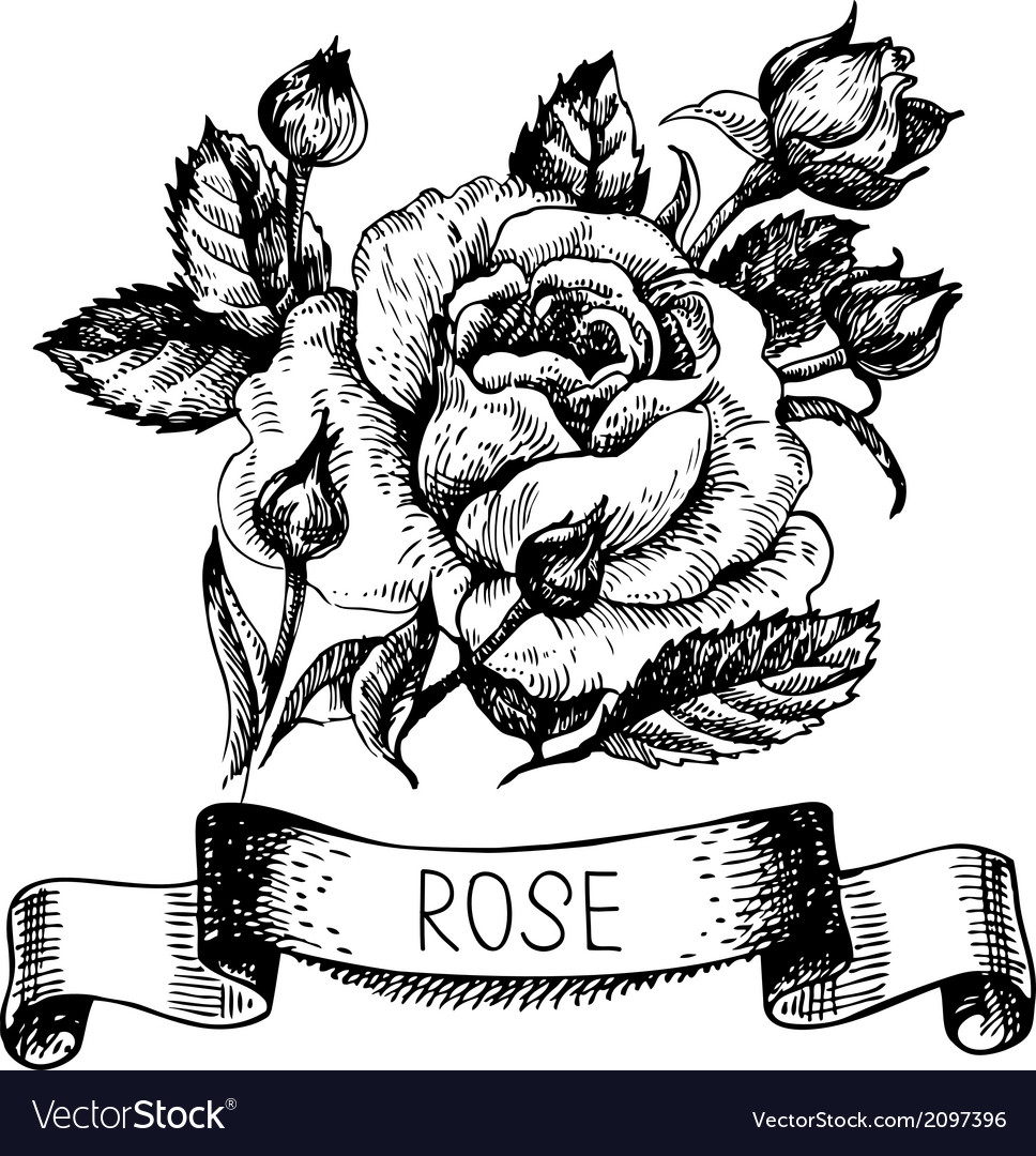 Sketch floral rose banner with ribbon vector