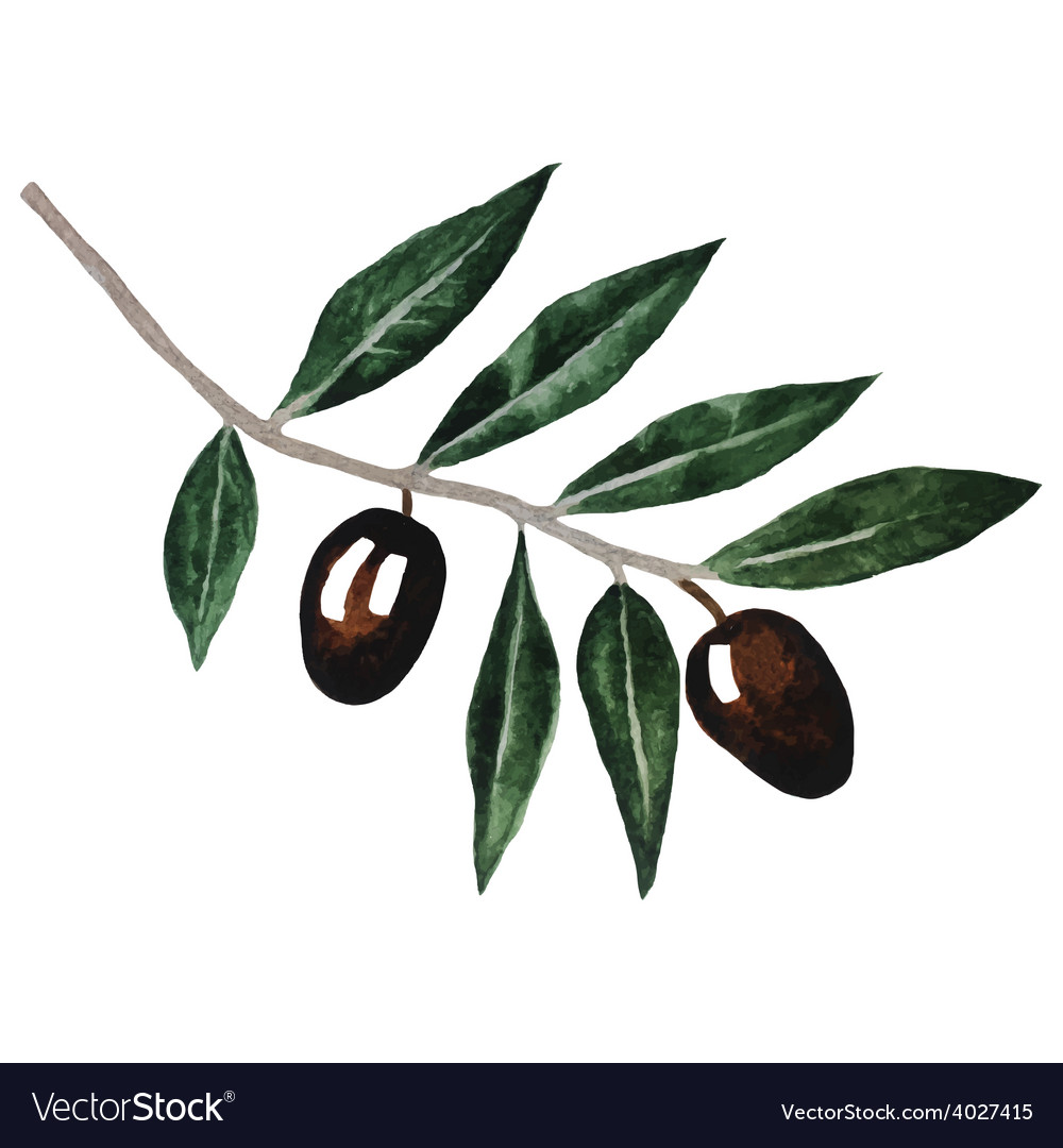 Olive branch watercolor isolated on white vector