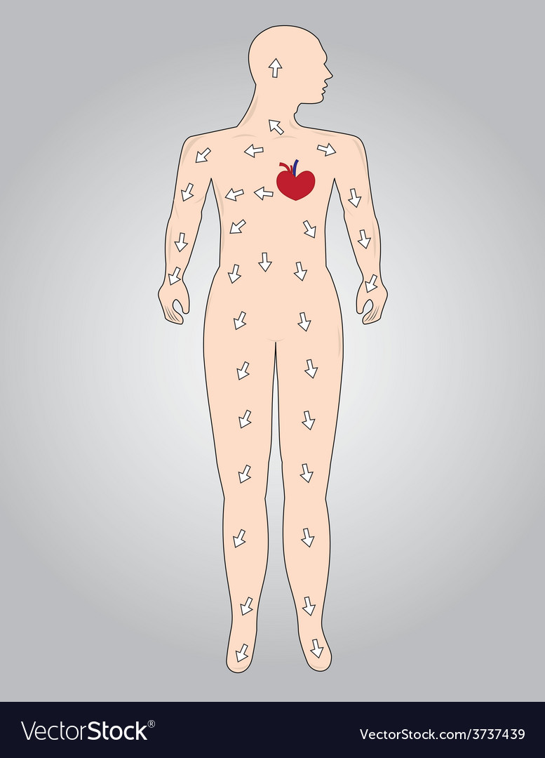 The function of the cardiovascular system vector