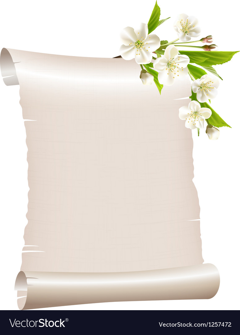 Scroll blank paper with blossoming cherry branch vector