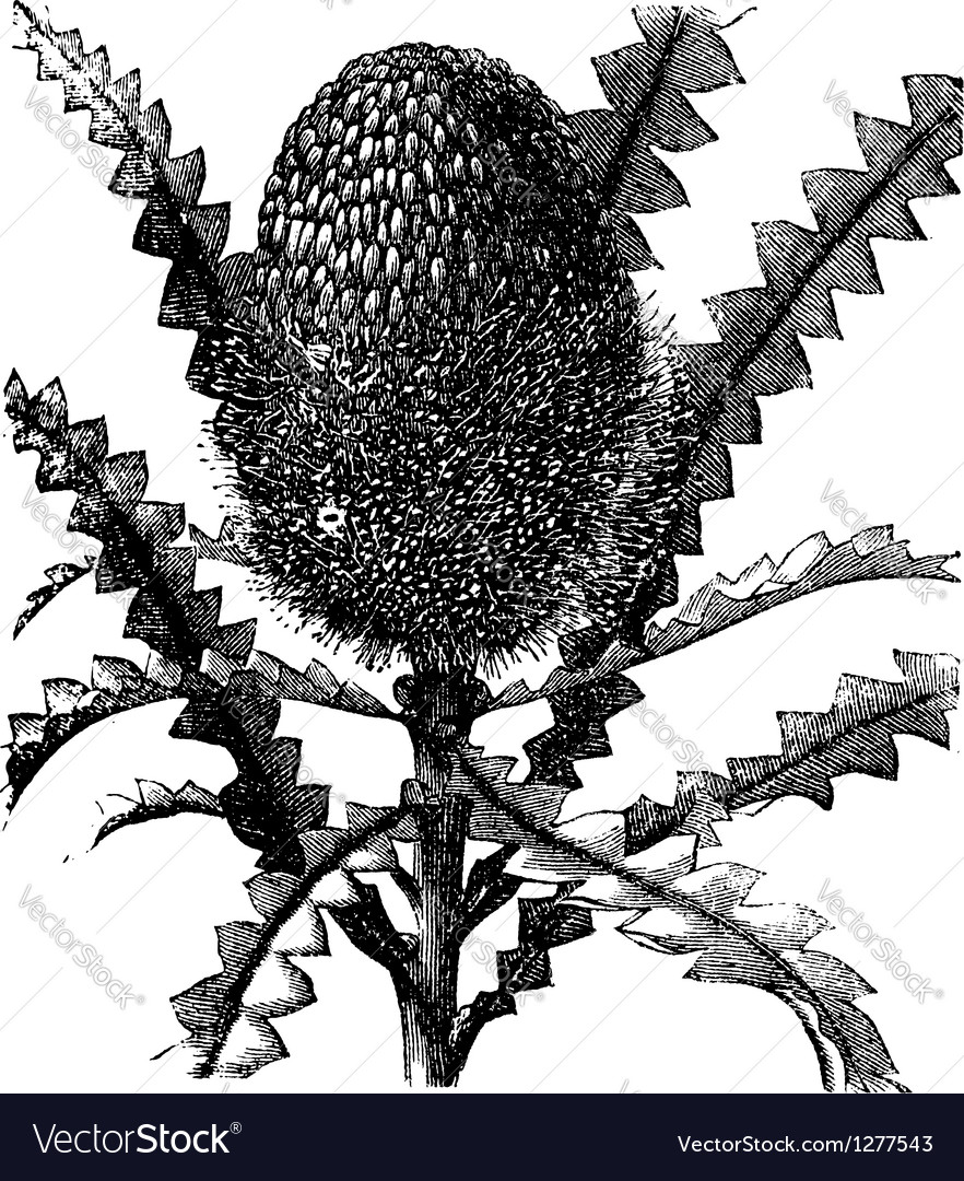 Showy banksia vintage engraving vector