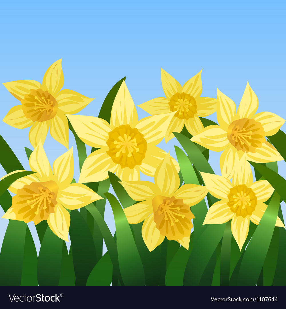Blooming daffodils vector