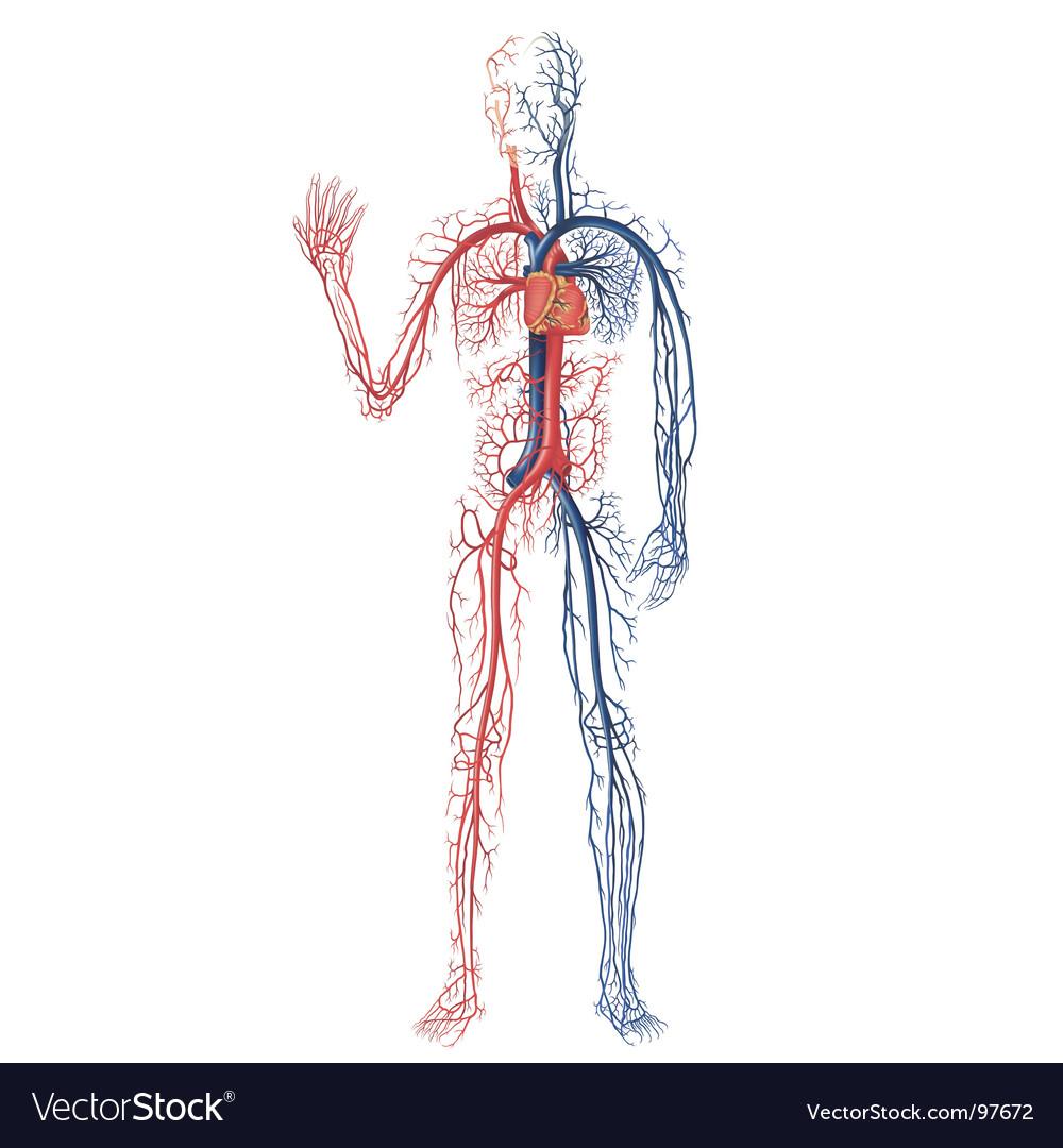 Circulation of blood vector