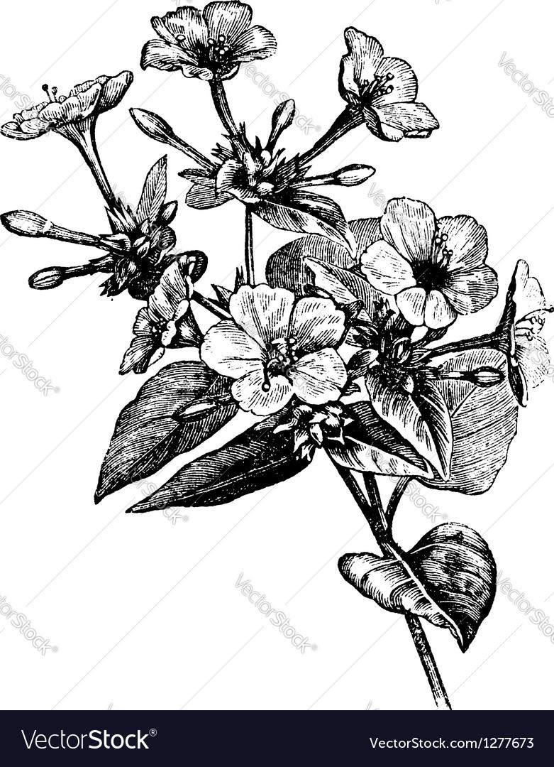 Four o clock flower vintage engraving vector