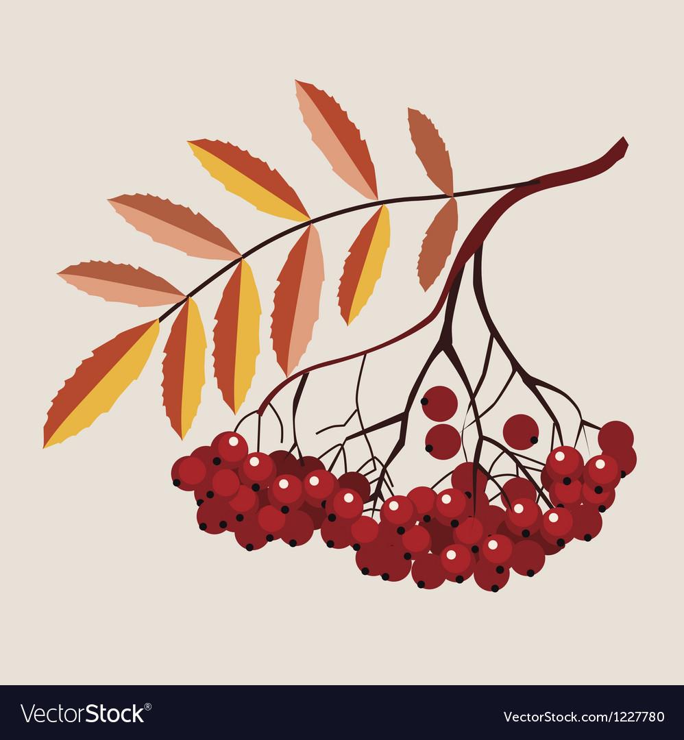 Mountain ash berries vector