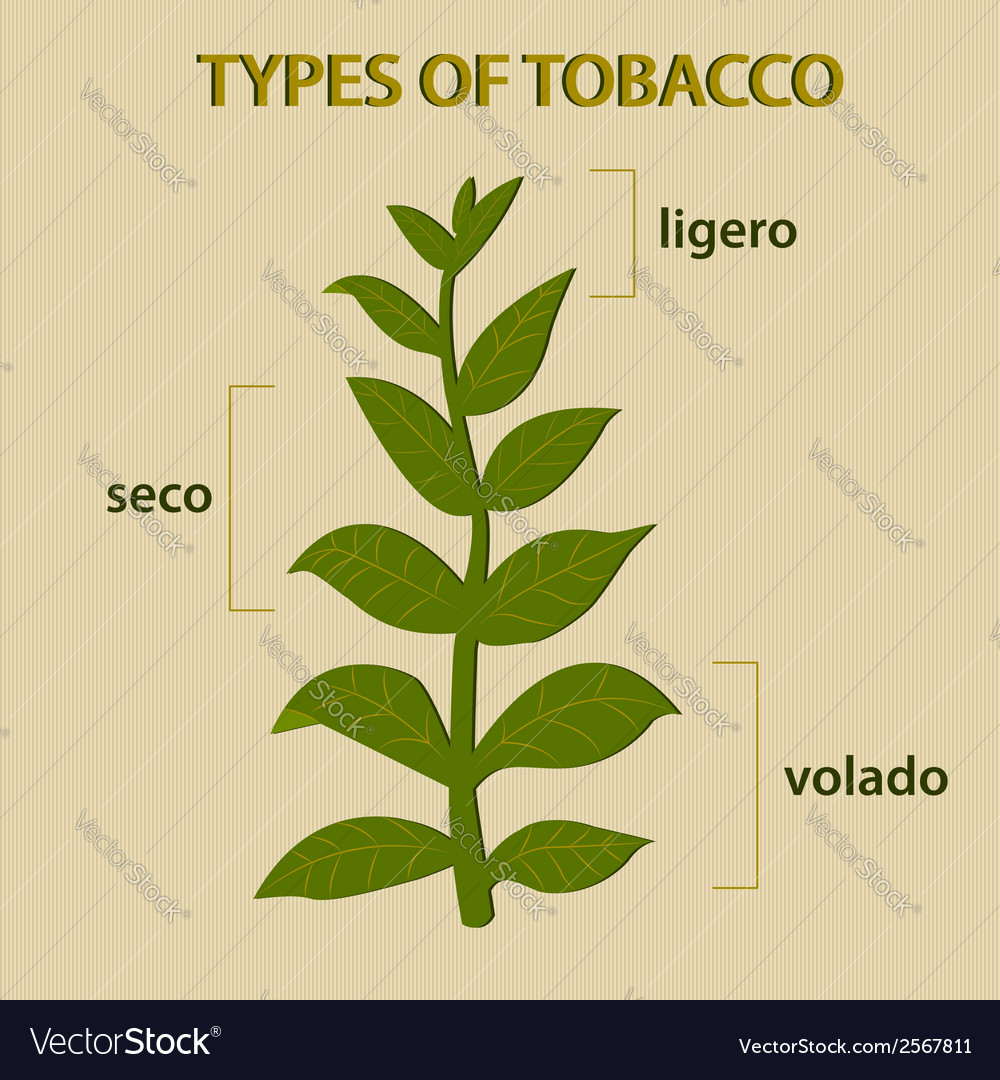 Types of tobacco vector