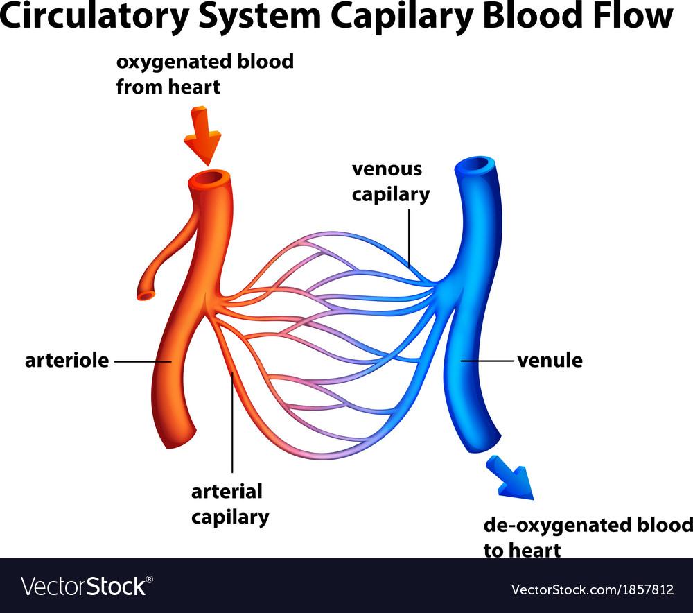 Circulatory system - capilary blood flow vector