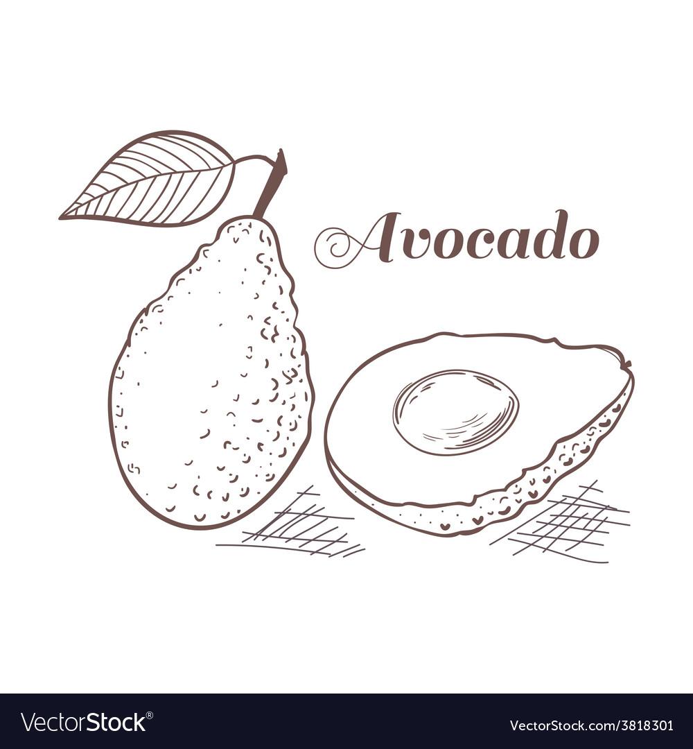 Engraving style avocado vector