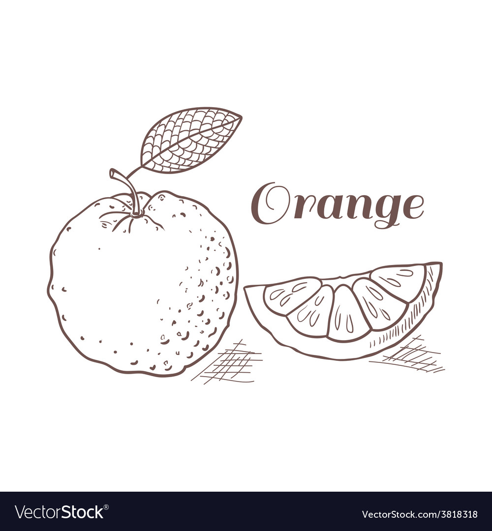 Orange with leaf in engraving style vector