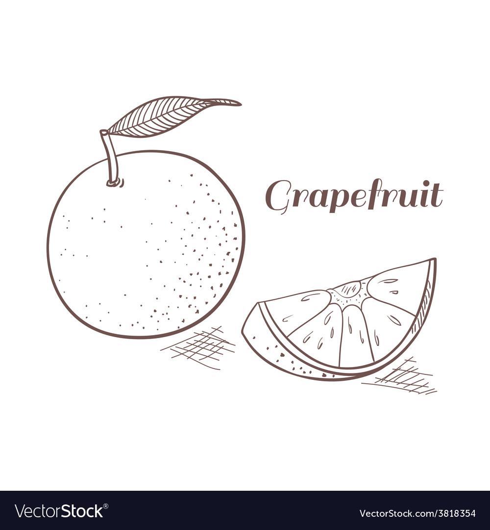 Grapefruit in engraving design vector